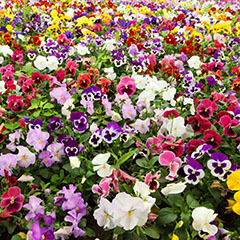 Primrose,  Pansy & Autumn bedding