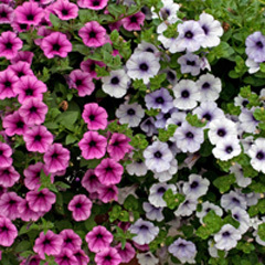 Surfinias and Petunias